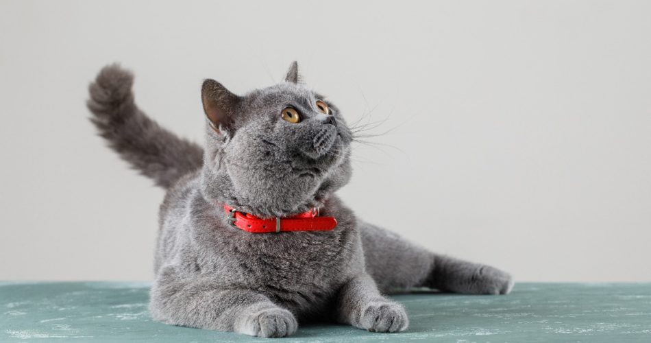 What Is the Best Cat Hernia Treatment?